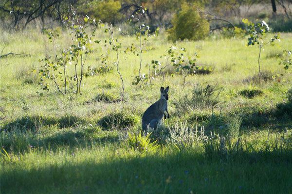 Found this wallaby in the yards when I went to feed the stallion.