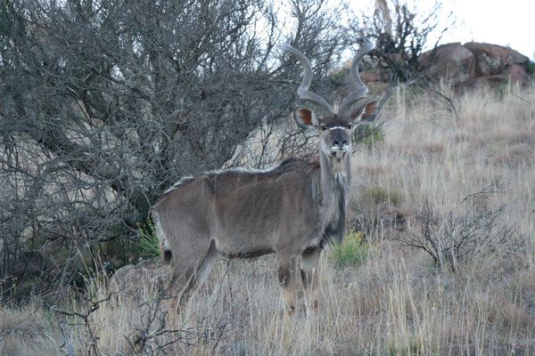 A kudu buck next to the road