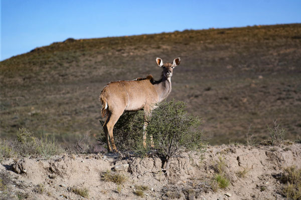 A female kudu on a hill staring back at us before vanishing...