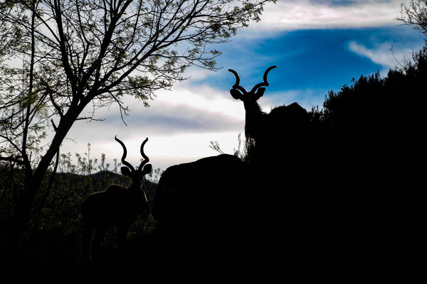 Two kudu bucks on top of the hill as we were about to leave!