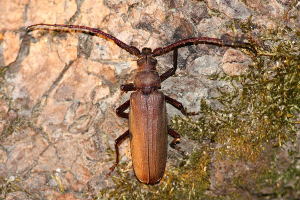 Körnerbock (Aegosoma scabricorne)      RL1, Verantwortungsart BW