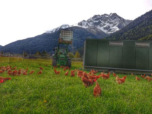Mobiler Hühnerstall  130 Stück Hühner