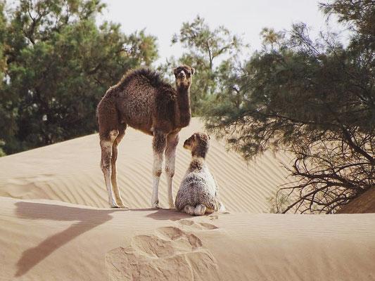Dromadaire et son petit dans le désert