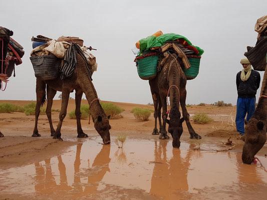 Dromadaire du Maroc dans le désert