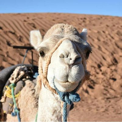 dromadaire blanc du Maroc