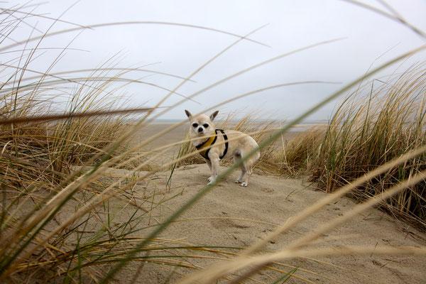 Fifi in den Dünen