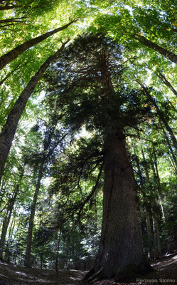 Abies alba_The Eternal Forest_Sila Nat. Park