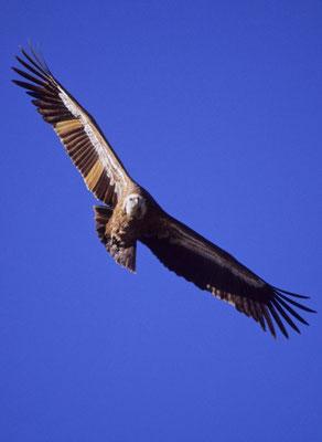 Gyps fulvus - Pollino National Park