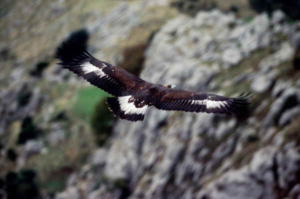 Aquila chrysaetos (Juv) - Pollino National Park