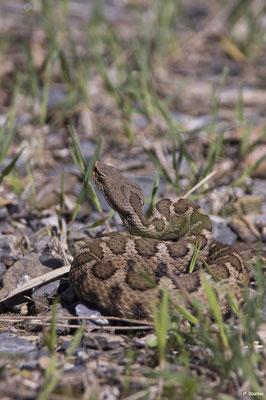 Vipera aspis hugyi - Pollino National Park