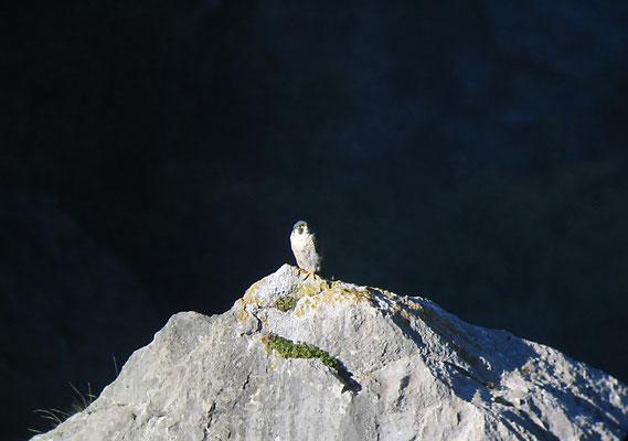 Falco peregrinus - Pollino National Park