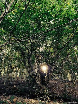 Fagus silvatica_The Eternal Forest_Sila Nat. Park