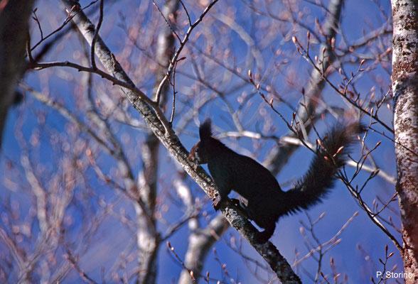 Sciurus vulgaris meridionalis - Pollino National park