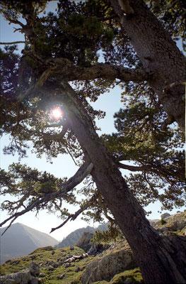 Pinus leucodermis - Pollino National Park