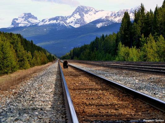 Grizzly Bear_Banff_Canada (AB)