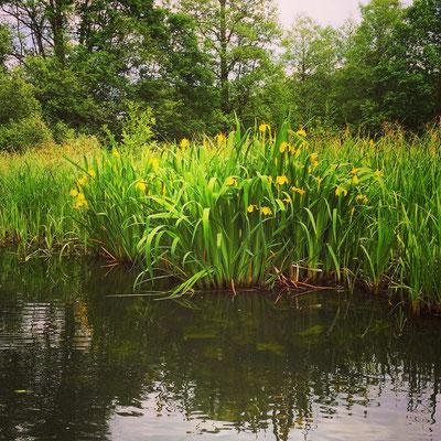 Schwertlilien am Ufer eines Spreewaldfließes