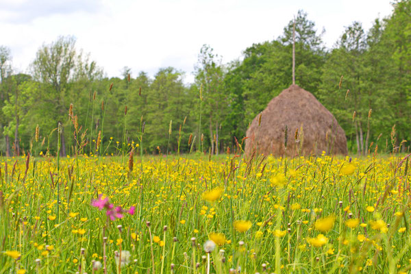 Wiesenlandschaft mit typischen Heuschober bei Lehde im Biosphärenreservat Spreewald