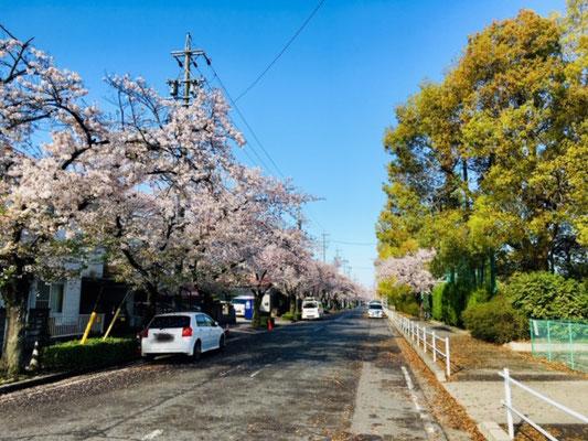 蛇池公園の桜_001