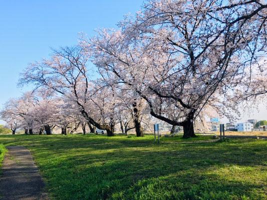 蛇池公園の桜_004