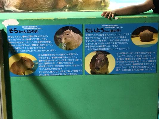 竹島水族館_カピパラ_003