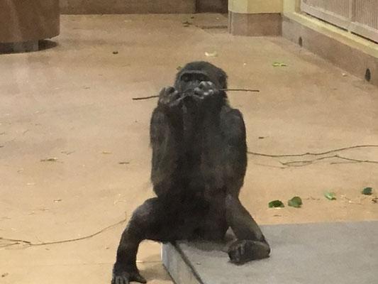 東山動植物園_ゴリラ・チンパンジー舎_005