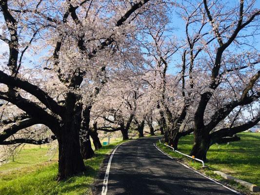 蛇池公園の桜_007