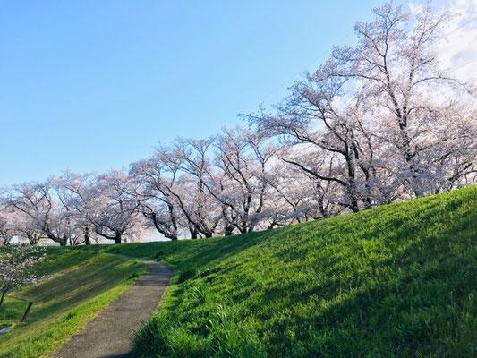 蛇池公園の桜_003