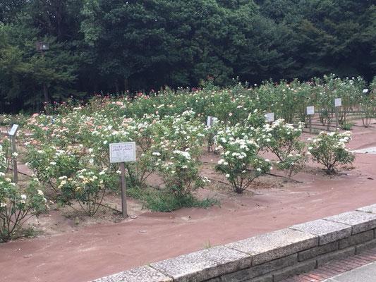 庄内緑地公園_バラ園_003