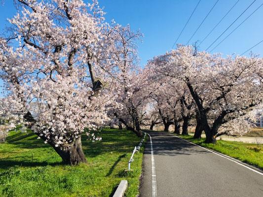 蛇池公園の桜_010