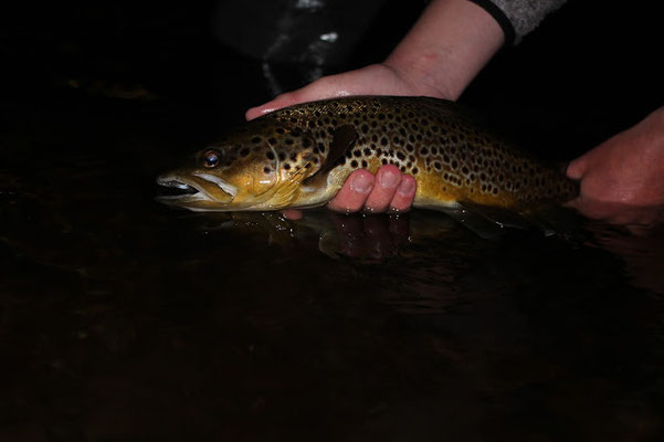 Solid brown trout