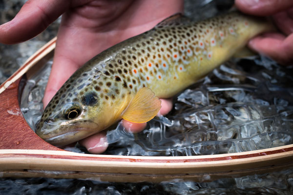 Fly fishing Trentino Italy - Danica Dudes Fliegenfischen Blog with a brown trout