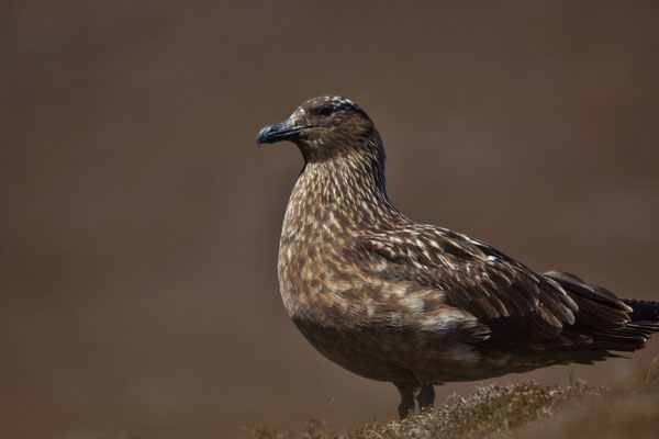 Grote Jager (Stercorarius/Catharacta skua)