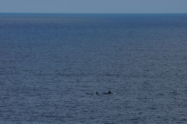 Witsnuitdolfijnen (Lagenorhynchus albirostris)