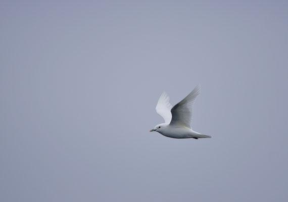 Ivoormeeuw - Ivory gull (Pagophila eburnea)
