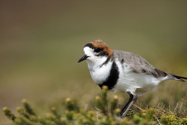 Falklandplevier - Two-banded plover - Charadrius falklandicus