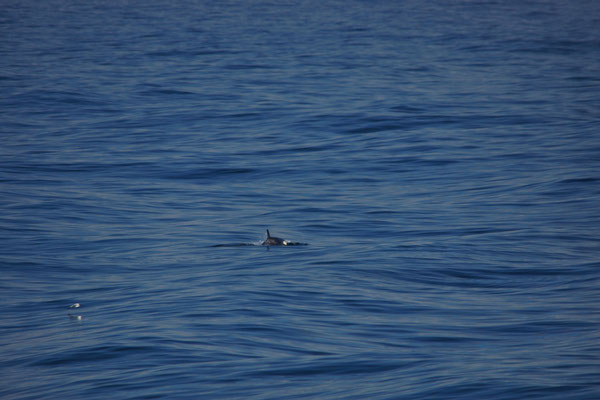 Orka (Orcinus orca) - Killer whale