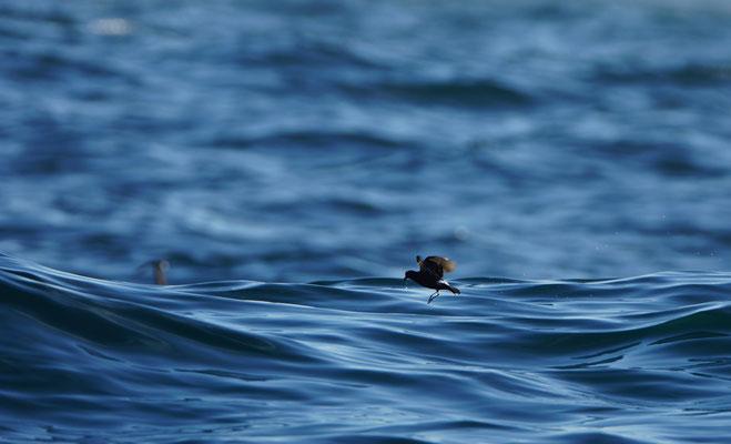 En dan kwamen de stormvogeltjes! Moeilijk te fotograferen, en ook de deining had wat effect op mijn 'skills' ;) Dit is een Stormvogeltje (Hydrobates pelagicus)
