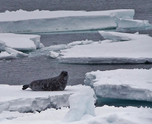 Klapmuts - Hooded seal (Cystophora cristata). Adult vrouwtje
