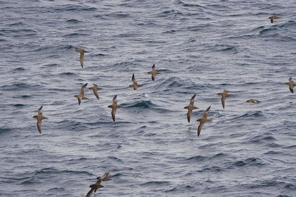Grauwe pijlstormvogel - Sooty shearwater - Ardenna griseus