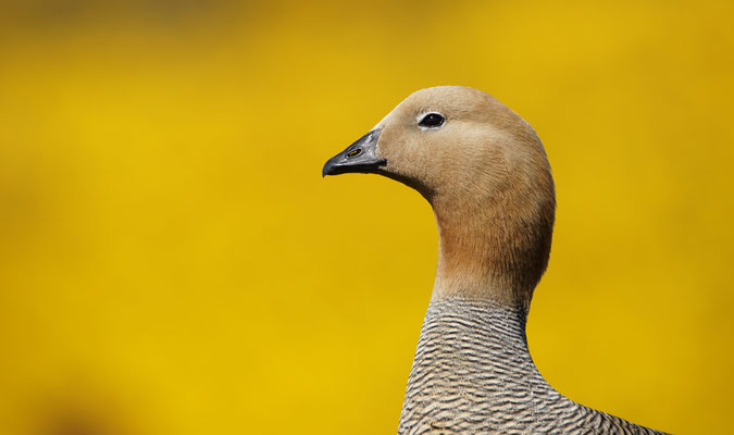 Magelhaengans - Upland goose - Chloephaga picta