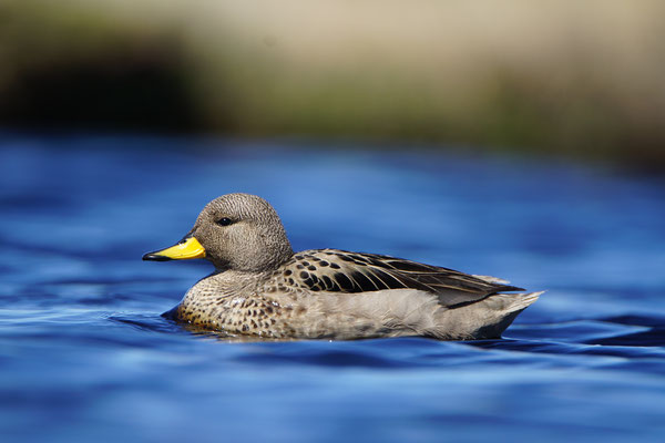 Chileense taling - Yellow-billed teal - Anas flavirostris