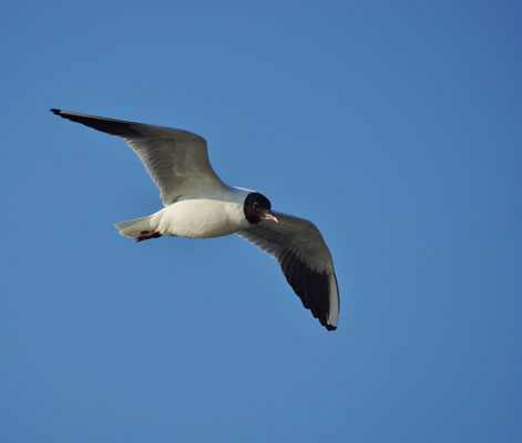 Kokmeeuw (Chrioicocephalus ridibundus) - Black-headed gull - Noordzee