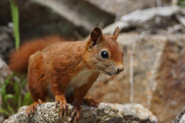 Rode eekhoorn (Sciurus vulgaris) in Tresco Botanical garden