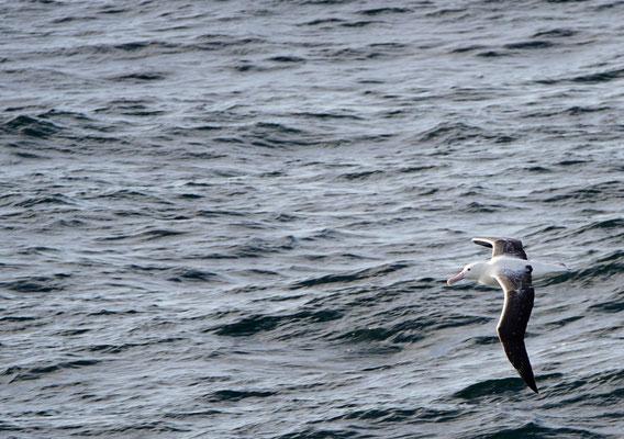 Zuidelijke koningsalbatros - Southern royal albatross - Diomedea epomophora