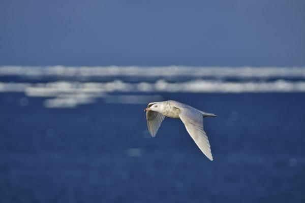 Grote burgemeester - Glaucous gull (Larus hyperboreus)