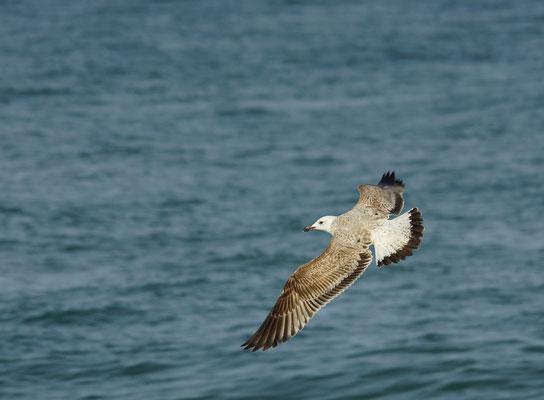 Pontische meeuw (Larus cachinnans) - Noordzee, België