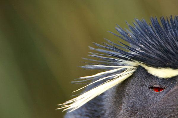 Westelijke rotspinguin - Western rockhopperpenguin - Eudyptes chrysocome chrysocome