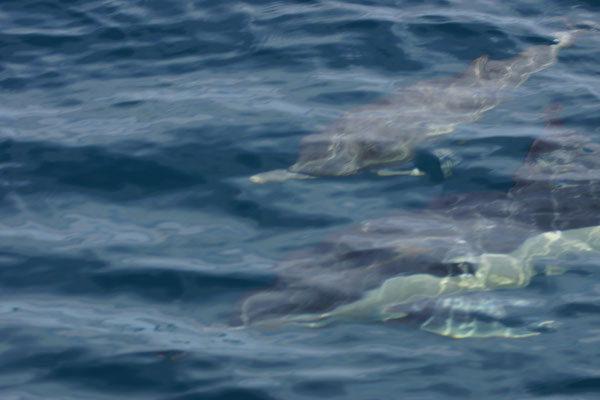 Gewone dolfijnen (Delphinus delphis)