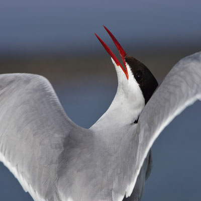 Noordse stern (Sterna paradisea)