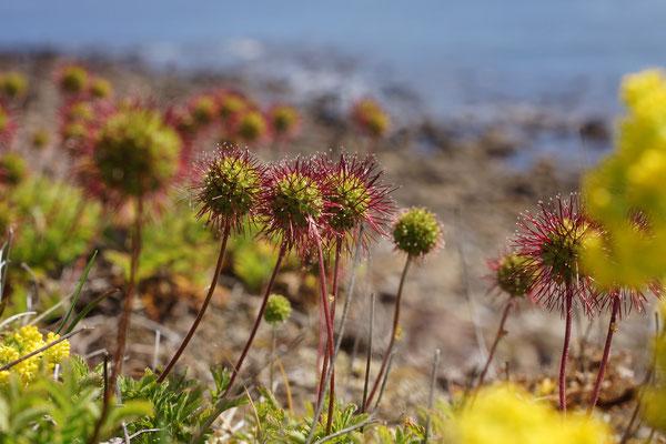 Piri-piri bur, een invasieve plant uit Nieuw-Zeeland (met schapen meegereisd)